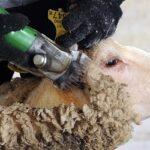 Как выбрать машинку для стрижки овец